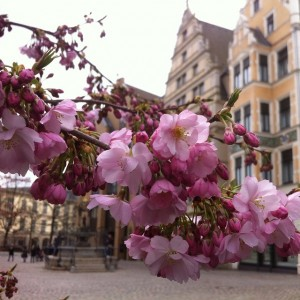 Cherry Blossoms bloom in front of Leibnizhaus - Old Town